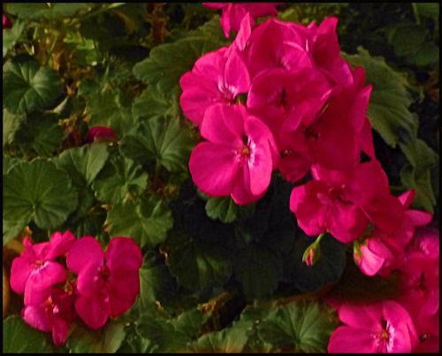 geraniumsred