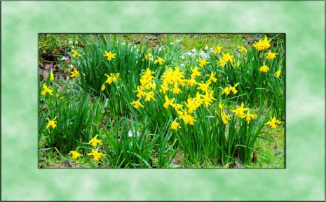 daffs-March2015d